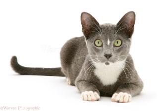 12696-Blue-and-white-Burmese-cross-cat-white-background.jpg?width=321&height=224